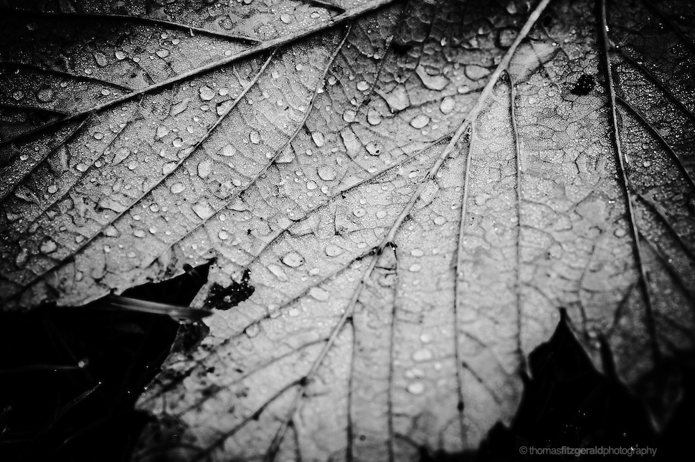 A Black and White Macro of an Autumn Leaf covered in droplets of water