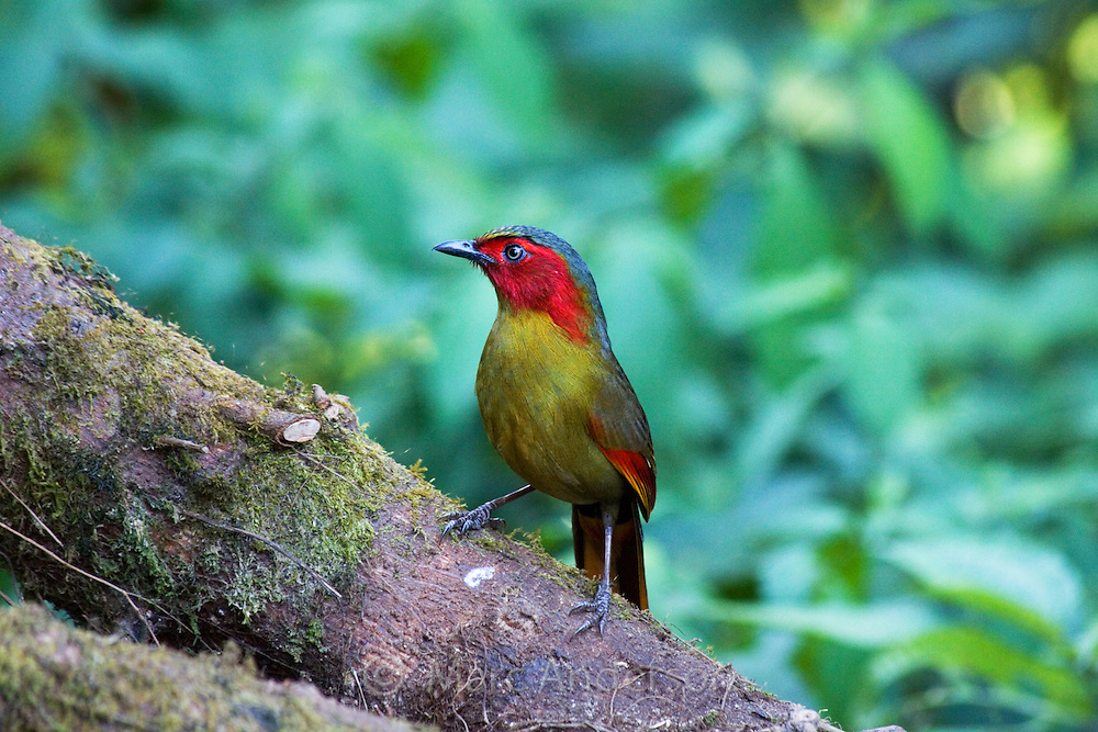Red-faced Liocichla (Liocichla phoenicea), Doi Lang, Thailand