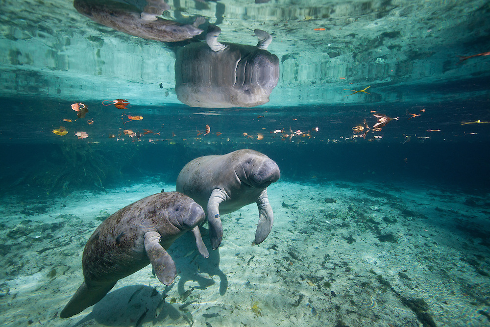 "Portrait of a West Indian manatee mother and baby (cow and calf),  or ""Sea Cow"" (Trichechus manatus), Crystal River, Three Sisters Spring, Florida."