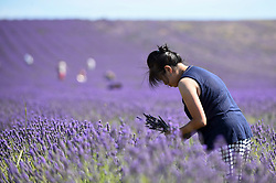 © Licensed to London News Pictures. 24/07/2018. ICKLEFORD, UK.  A woman to Hitchin Lavender farm picks lavender during the continuing heatwave.  Currently in full bloom, the lavender and colourful sunflowers attract visitors from far and wide to this popular family run farm. Photo credit: Stephen Chung/LNP