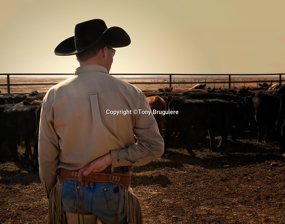 The sun is setting as Gary Hall looks over the result of his long day of weaning calves on the Broken Spear Ranch in Colorado