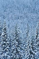 A snow covered coniferous forest in the Central Cascades of Washington State