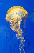 """Pacific sea nettle, or Ortiga de mar (Chrysaora fuscescens), Oregon Coast Aquarium, Newport, Oregon, USA. Although commonly named """"jellyfish,"""" jellies are plankton, not fish. Jellies (class Scyphozoa) lack the backbone (vertebral column) found in fish. Jellies have roamed the seas for at least 500 million years, making them the oldest multi-organ animal. A sea nettle hunts by trailing long tentacles covered with stinging cells to paralyze tiny plankton and other prey. Stung prey is moved to the frilly mouth-arms and on to the jelly's mouth. Published in """"Light Travel: Photography on the Go"""" book by Tom Dempsey 2009, 2010."""