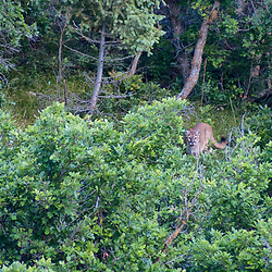 A cougar, or mountain lion, stalks through the trees.