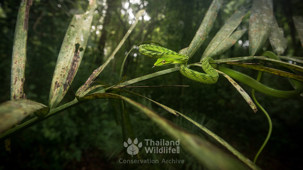 Big-eyed Vine Snake (Ahaetulla mycterizans) in Trang, Thailand