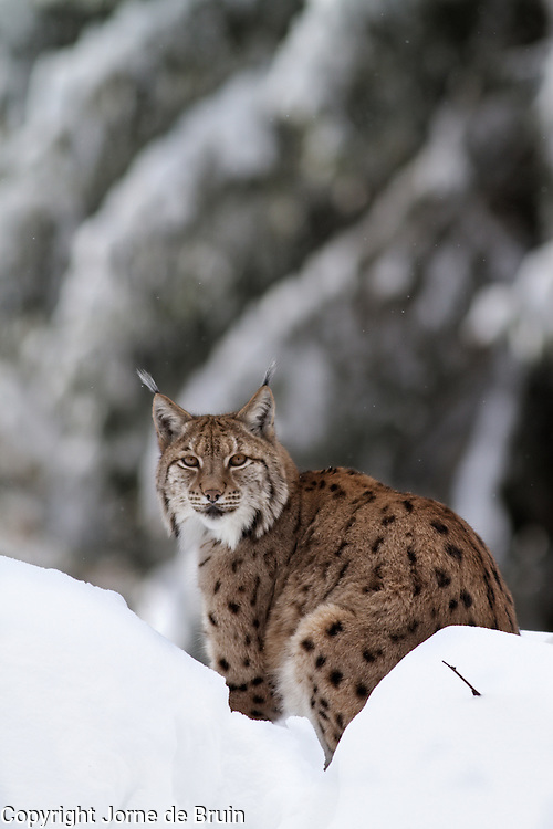 A Lynx is sitting on a snowy hill in the wildlife park of the Bavarian Forest.