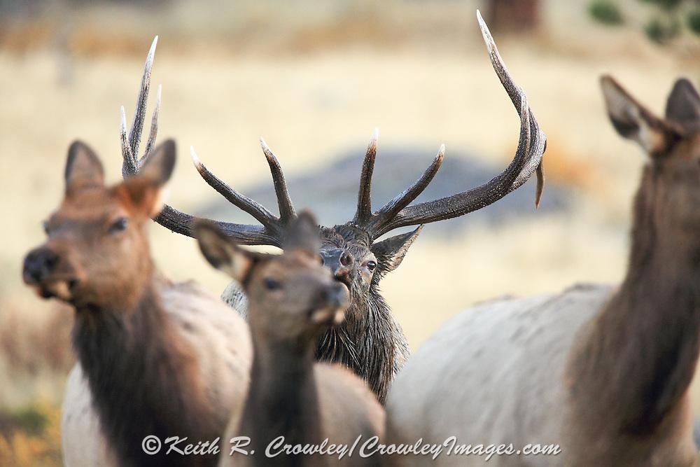 Rocky Mountain bull elk during the autumn rut