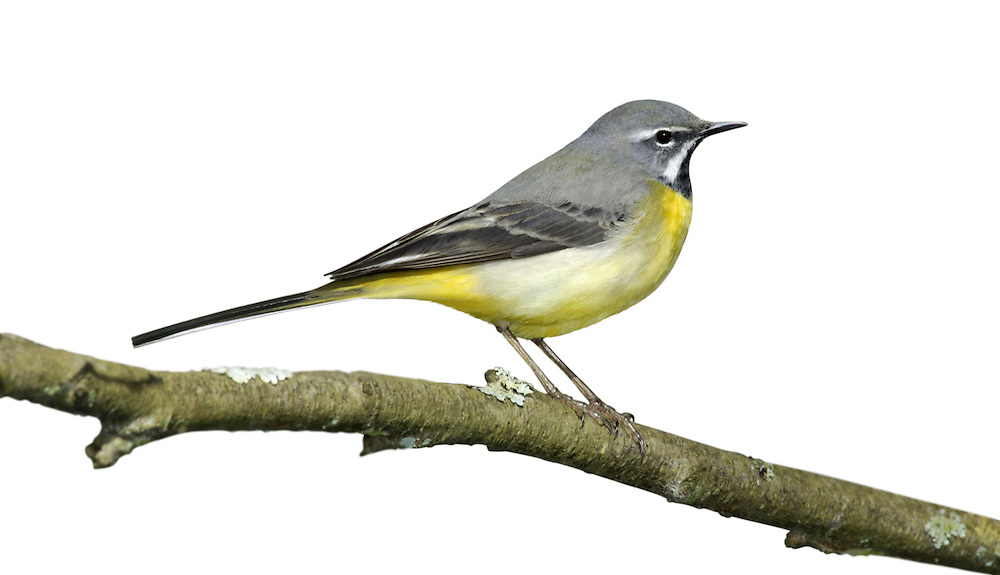 Grey Wagtail - Motacilla cinerea. Length 18cm. Elegant waterside bird. Strikingly long tail is continually pumped up and down. Sexes are dissimilar. Adult male in summer has blue-grey upperparts and lemon-yellow underparts. Note black bib, white sub-moustachial stripe and white supercilium. Bill is dark, legs are reddish and outer tail feathers are white. Adult female in summer is similar but bib is whitish and variably marked with grey while underparts are paler with yellow colour confined mainly to vent. Winter adults and juveniles are similar to respective summer plumages but with white throats. Voice Utters a sharp chsee-tsit call in flight. Status Favours fast-flowing stony streams and rivers; commonest in N and W.