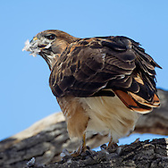 Red-tailed hawk perched on branch with feathers from its prey (mourning dove) clinging to its beak, © 2011 David A. Ponton