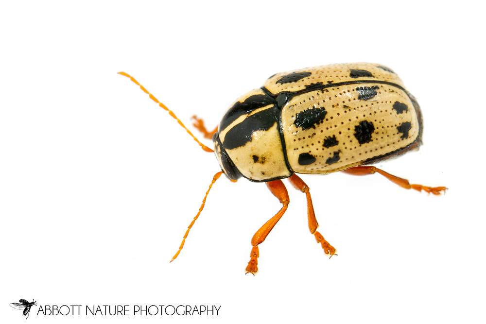 Leaf Beetle (Cryptocephalus optimus)<br /> United States: Alabama: Tuscaloosa Co.<br /> Tulip Tree Springs off Echola Rd.; Elrod<br /> 28-Apr-2017<br /> J.C. Abbott #2941