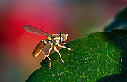 A hoverfly rests on a leaf.