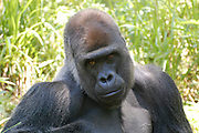This is a photograph of a Gorilla.