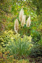 Cortaderia selloana 'Evita' AGM. Dwarf pampas grass