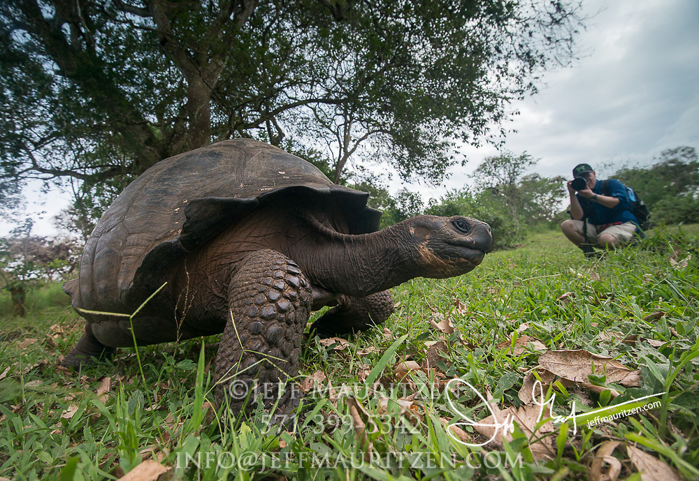 A tourist take photos of a Galapagos Giant tortoise in the highlands of Santa Cruz island.