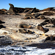 Seal Island is home to 64,000 Cape Fur Seals (Arctocephalus pusillus), various seabirds and the occasional African Penguin. The dense population of seals at certain times of the year attracts the seal's main predator, the great white shark (Carcharodon carcharias).  Seal Island and the adjacent waters provide rare opportunities to witness attacks by great whites on the Cape fur seal. The island has become famous for the size of the sharks and their hunting behavior. A shark launching an ambush will often breach the surface.