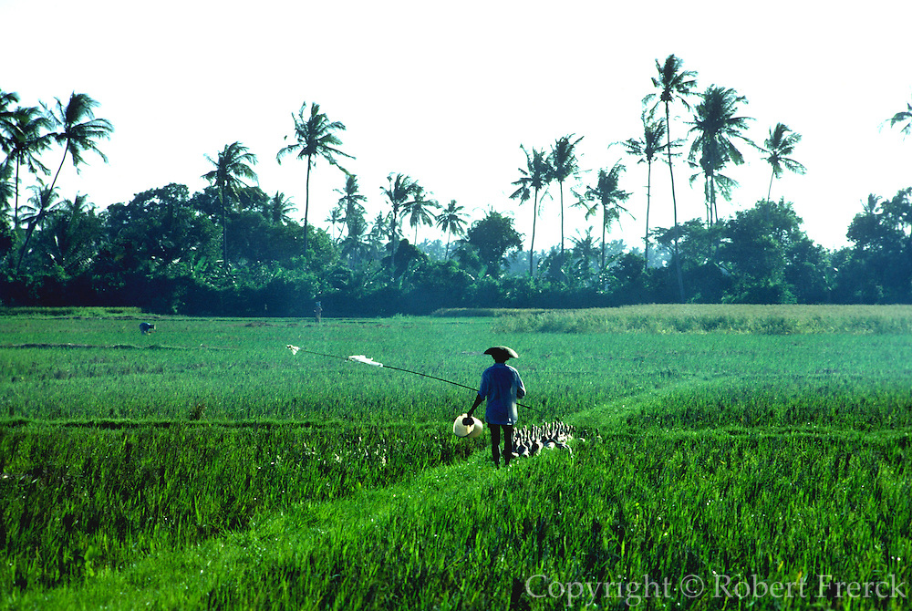 INDONESIA, BALI, AGRICULTURE a farmer herding ducks through flooded  rice fields with palm trees beyond