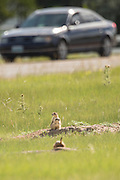 Black tailed Prairie Dogs watch cars pass on a suburban street from their colony in Cheyenne, Wyoming.
