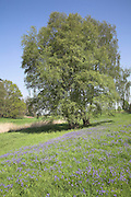 Silver birch trees and blubells growing in spring meadow, Butley, Suffolk, England