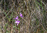 A delicate lavender orchid blooms among the grasses in Big Cypress National Preserve in southern Florida.