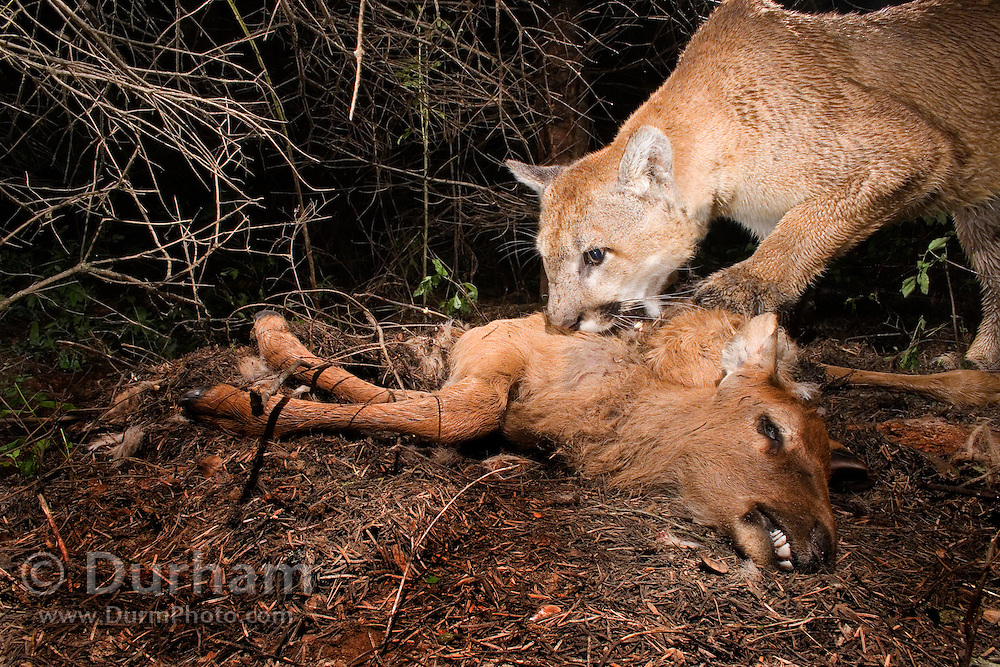 A wild cougar (Puma concolor) feeds on a young elk (Cervus elephus nelsoni) calf that it killed earlier. Wallowa County, Oregon.<br /> <br /> This image was taken during the Oregon Division Of Fish And Wildlife's controversial Cougar Management Plan.<br /> <br /> Cougars will often cache prey after the kill, and then return to feed later. A motion-sensing camera photographed this cat returning for a meal.<br /> <br /> Please note: This image has been digitally altered. Ear tags and a radio collar placed on the cat by biologists were digitally removed from this image. Original file available upon request.