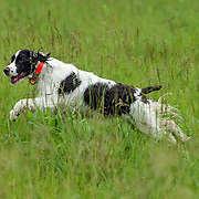 Photography of English Springer Spaniels in the field, during the WESSA Working Dog Test. The Working Dog Test took place at the Bong Recreation Area, Burlington, WI, June 22, 2013.