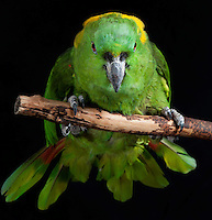 Yellow Naped Amazon Parrot, (Amazona auropalliata); Captive, credit: Pandemonium Aviaries/M.D.Kern