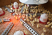 A brooder of young baby chicks inside the Thika Women Prison. The prison produces goods and farm produce to sell to the local community. Action for children in conflict (AFCIC) work closely with the prison helping to provide day care, clothes and resources for the children that live inside.