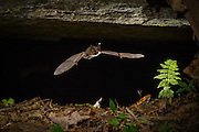 A Virginia big-eared bat (Corynorhinus townsendii virginianus) emerging from a cave in North Carolina. This is an endangered subspecies of the Townsend's big-eared bat and is found in Virginia, Kentucky and North Carolina.