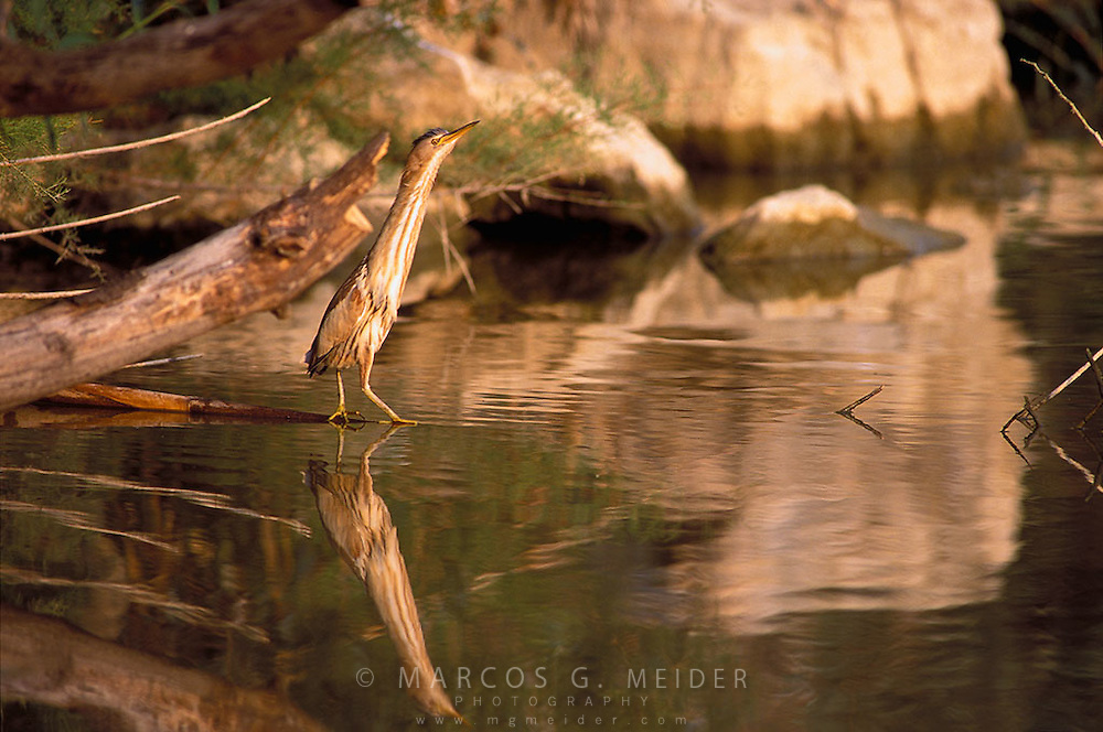 Little Bittern (Ixobrychus minutus). Female on river bank. Andalusia, Spain.