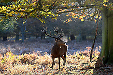 NOV 19 2013 Deer in Richmond Park Weather