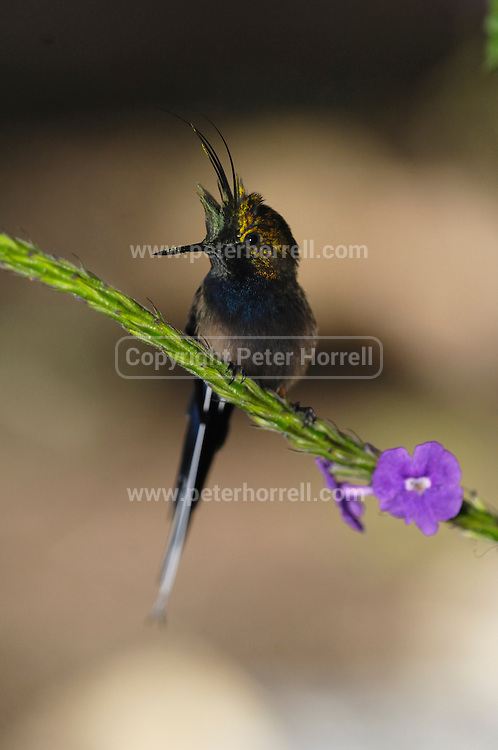 Ecuador, May 20 2010: Male Wire-crested Thorntail (Popelairia popelairii) on branch at Wild Sumaco. Copyright 2010 Peter Horrell