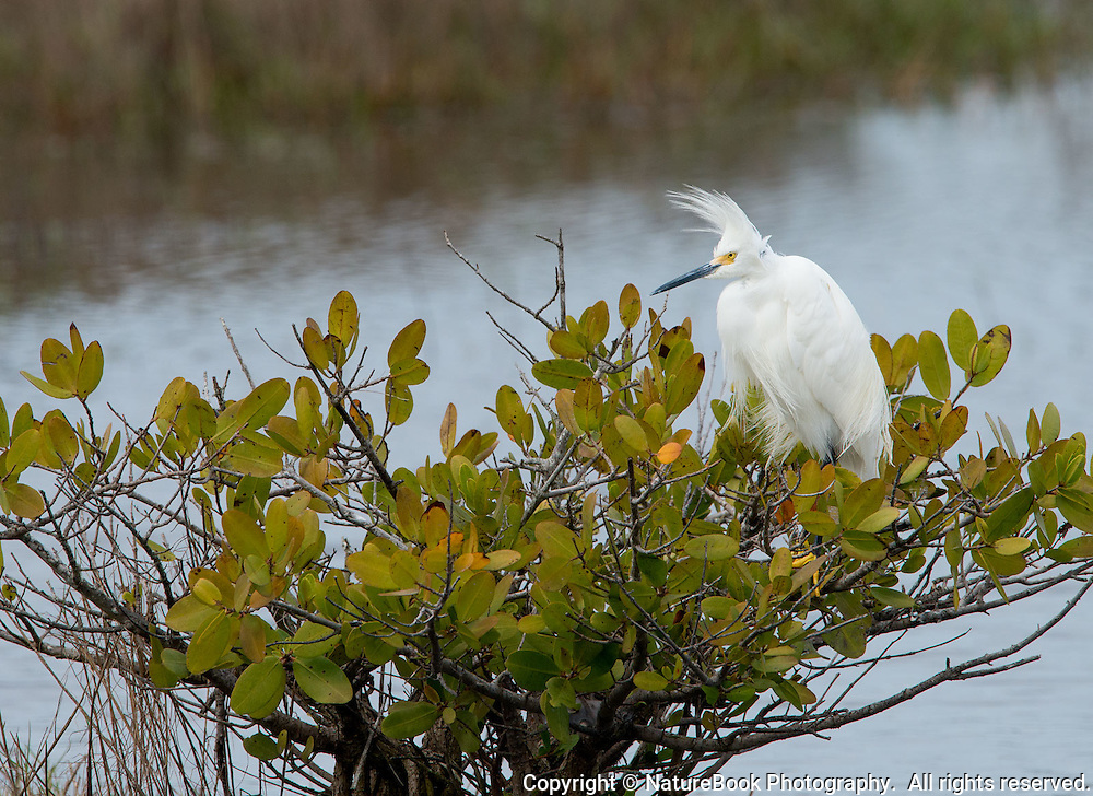 A White Egret perches on a shrub at Merritt Island National Wildlife Refuge in Florida, adjacent to the Kennedy Space Center.  A strong wind gives the bird's head an interesting profile