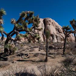 Monzonite Rocks and Joshua Trees on the Trail to Barker Dam, Joshua Tree National Park, California