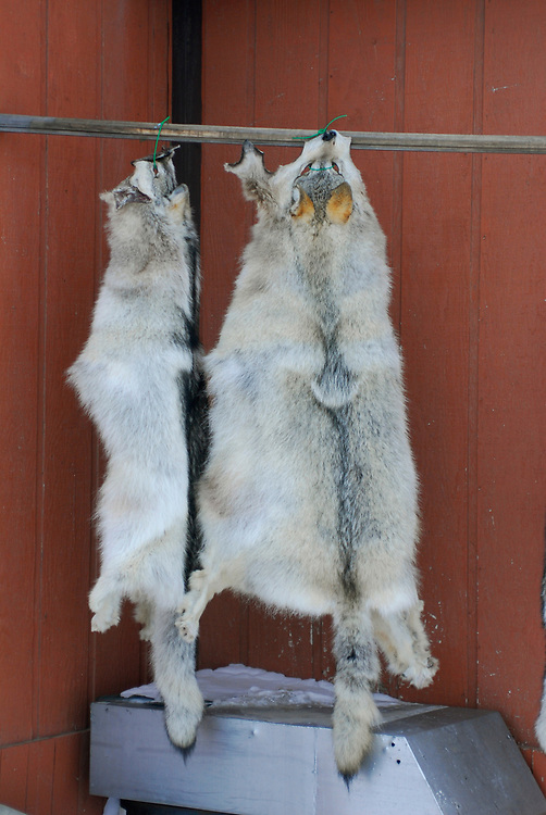 Barrow, Alaska. Wolf skins native tanning by house owner Edwards. April 2007.