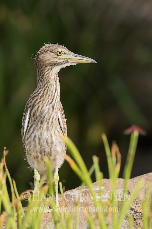 A juvenile black-crowned night heron stands on a large rock in a shallow lake, Ranganathittu Bird Sanctuary, India