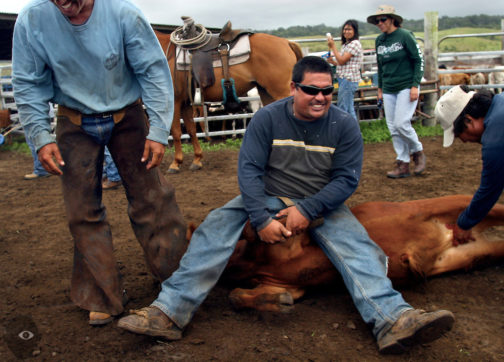 Kainoa Lapera sits happily atop a calf after wrestling it to the ground as calves are branded at the Kuahiwi Ranch in the higher country above the town of Naalehu on the southern part of the Big Island, Hawaii.