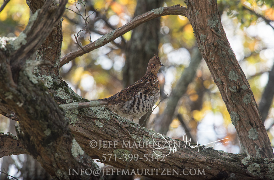 A Ruffed grouse stands on a tree branch in autumn.