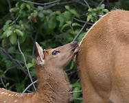 Elk calf touches chin to flank of its mother.  Seeds are visible in the calf's fur, probably the invasive houndstongue, Cynoglossum officinale, adapted to spreading by clinging to mammal fur. Greater Yellowstone Ecosystem, © 2019 David A. Ponton