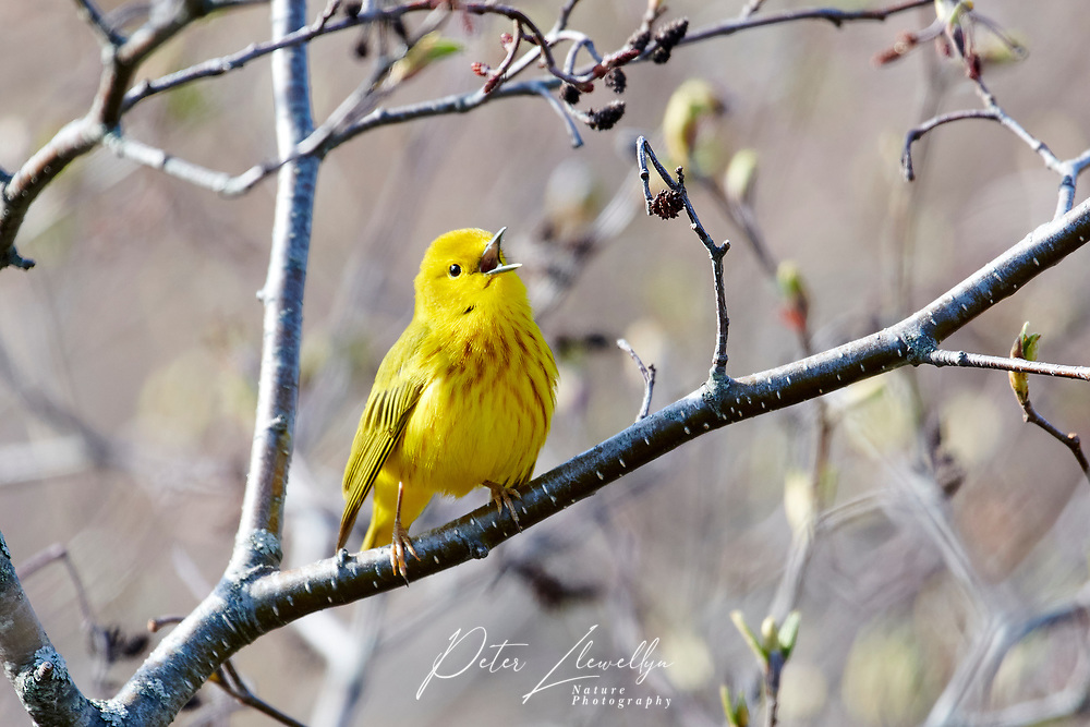 Yellow Warbler (Dendroica petechia) perched in a small tree, Crescent Beach, Nova Scotia, Canada