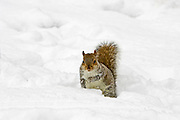 Grey squirrel in snow on Hampstead Heath, North London, United Kingdom