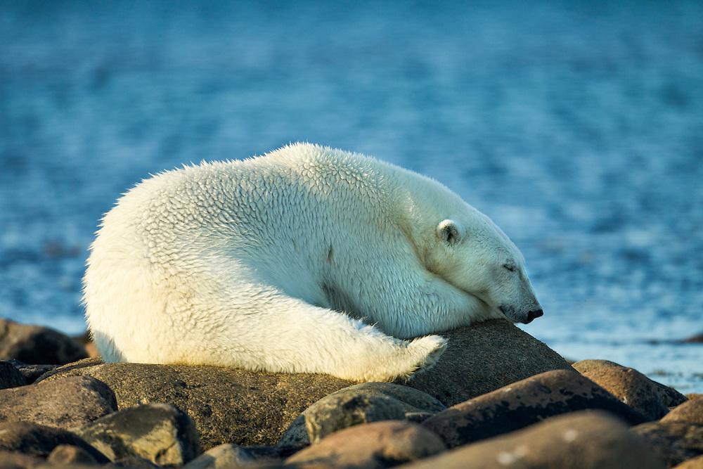 Canada, Manitoba, Polar Bear (Ursus maritimus) resting on rocky shoreline at Hubbart Point along Hudson Bay on summer evening