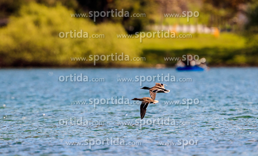 THEMENBILD - Enten überfliegen den See, aufgenommen am 30. April 2016, am Zeller See, Zell am See, Oesterreich // Ducks fly over the Lake Zell, Zell am See, Austria on 2016/04/30. EXPA Pictures © 2016, PhotoCredit: EXPA/ JFK