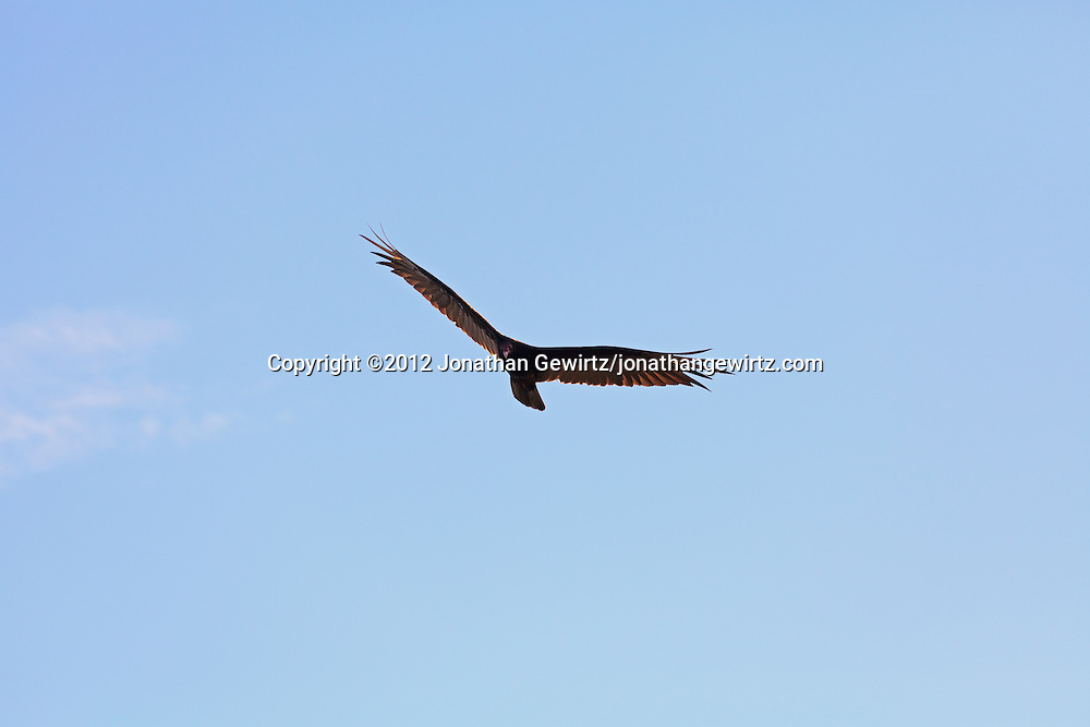 A Turkey Vulture (Cathartes aura) in flight, Everglades National Park, Florida. WATERMARKS WILL NOT APPEAR ON PRINTS OR LICENSED IMAGES.