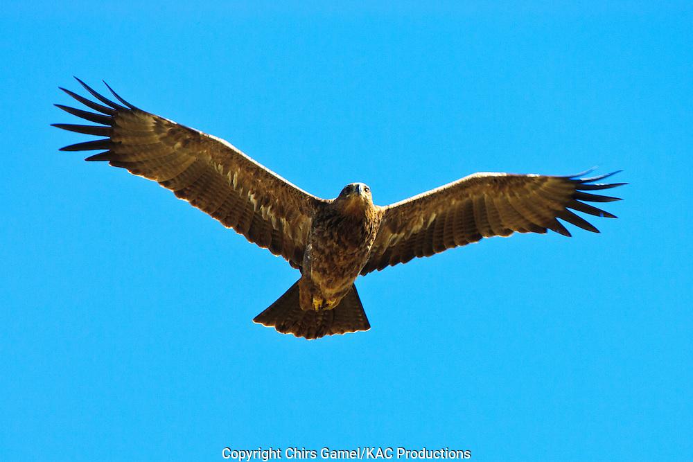 Tawny Eagle (Aquila rapax) flying against a blue sky, Serengeti National Park, Tanzania, Africa; bird of prey; carnivore