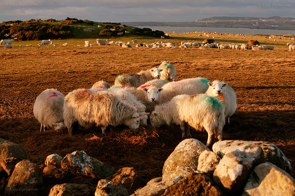 Flock of sheep on Christmas Day huddling in winter sunshine at Rhoscolyn, Anglesey