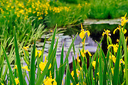 Beautiful yellow flag water irises Iris pseudoacorous surround a pond in the spring time. These aquatic perennial plants bloom from spring through summer.