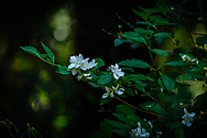 Beautiful white flowering bush with dark green leaves and background.