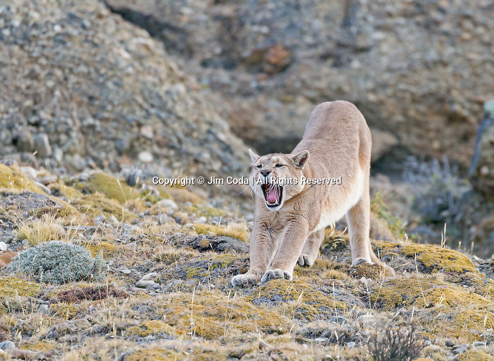 A Patagonian puma stretches and yawns after a nap.