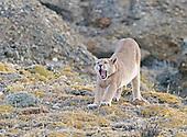 Mountain Lions/Pumas