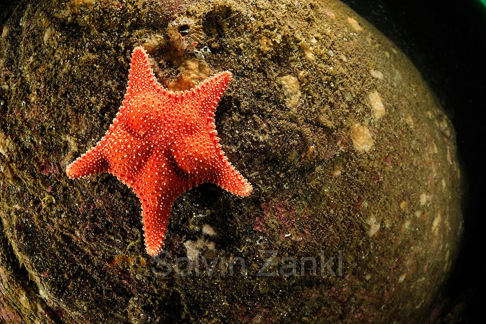 Sea star (Hippasteria phrygiana), Atlantic Ocean, Strømsholmen, North West Norway |  Atlantischer Ozean, Strømsholmen, Nordwestküste von Norwegen